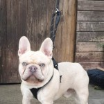 French Bulldog For Stud