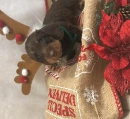 Standard wirehaired dachshund pups