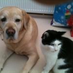 Pedigree Labrador retriever Puppys