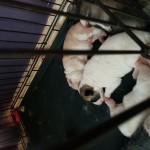 Chunkey akita pups