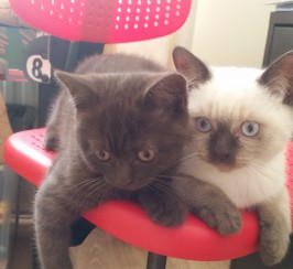 SWEET BRITISH SHORTHAIR KITTEN FOR SALE