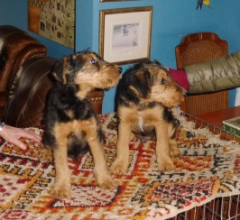 Harpham Airedales In East Yorkshire
