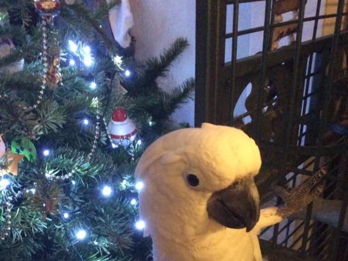 Umbrella Cockatoo Female 6yr Old Gabby