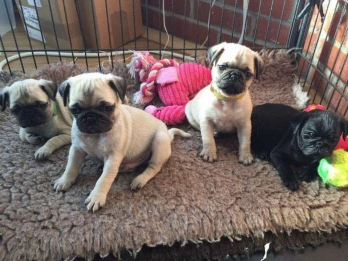 Exceptional Black & Fawn Pug Puppies Ready Now!!!!