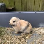 Mini lops