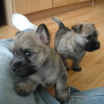 Excellent Pedigree Cairn Terrier Puppies