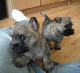 Pets  - Excellent Pedigree Cairn Terrier Puppies