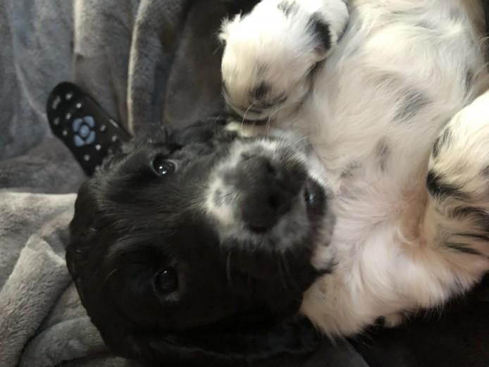 Beautiful Home Reared Cocker Spaniel Puppies