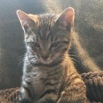 Stunning Pixie Bob cross kittens for sale