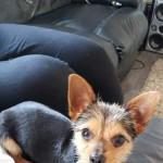 Chihuahua x Yorkie 10 mth puppy