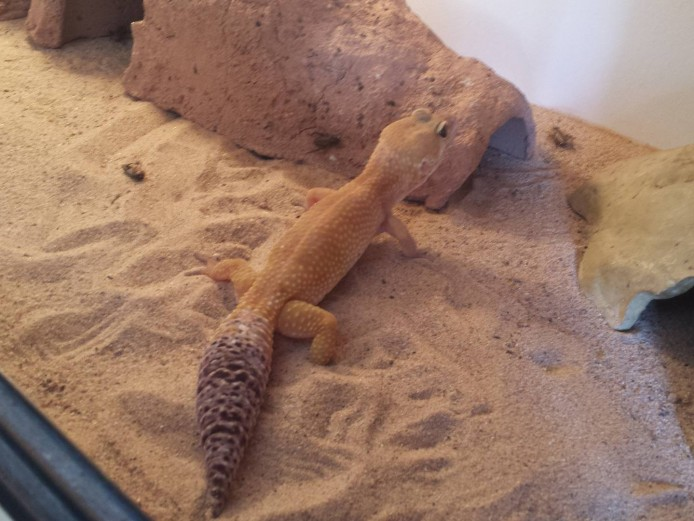 Needs to go ASAP! Tangerine Leopard Gecko with 3ft Hutch