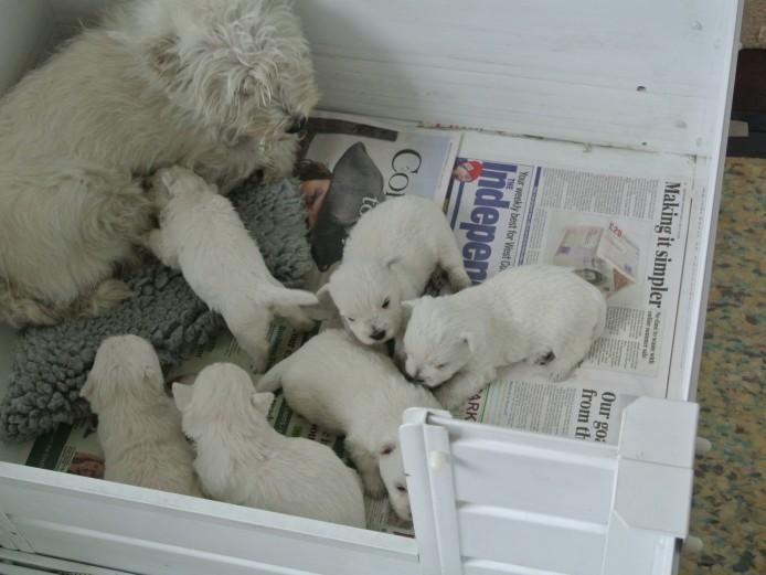 westhighlandwhite terriers