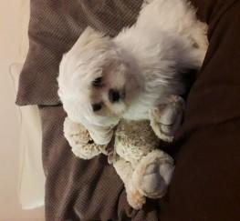 Pets  - Malshih cross maltese