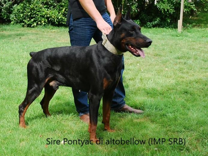 European champion bloodline Doberman pups