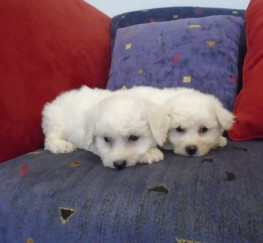 Pets  - Beautiful Bichon Frise Puppies