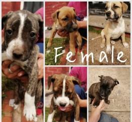 Pets  - American bullmastiff cross Puppies