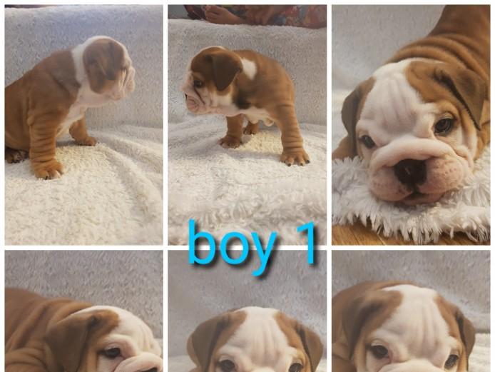 English bulldog puppies kc reg, champion lines