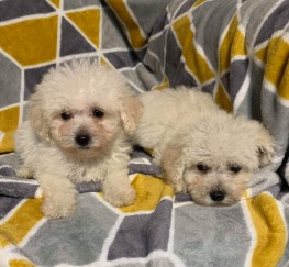 Pets  - Bichon Frise puppies