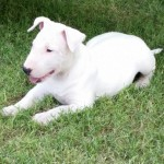 KC Reg & Pedigree English Bull Terrier Puppies For Sale
