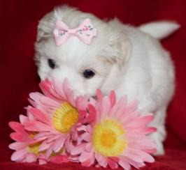 Beautiful Kc Reg Maltese Puppies