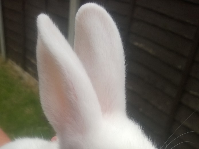 Baby pure bred new Zealand white rabbits for sale