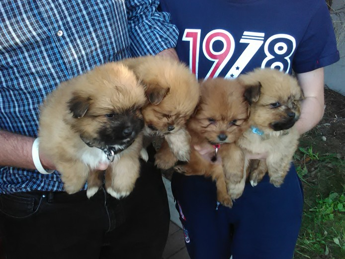 Gorgeous Pomeranian puppies