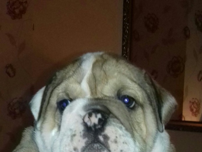 ENGLISH BULLDOGS  PUPPIES READY NOW