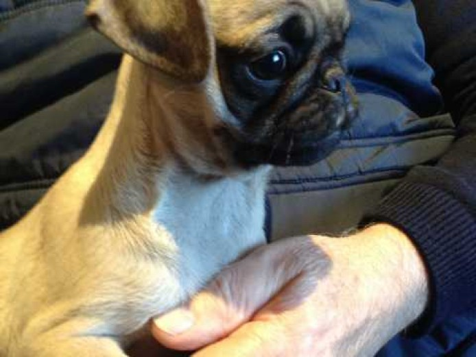 Very cute kc reg pug puppies for sale now