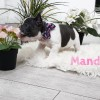 Pets for Sale - Adorable French bull dog Puppies for sale