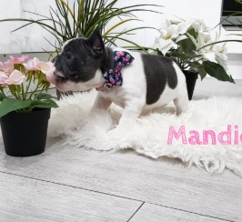 Adorable French bull dog Puppies for sale