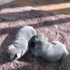 Pets for Sale - Beautiful solid blue kc registered French bull terriers