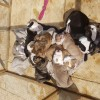 Pets  - Old tyme puppies 7 weeks