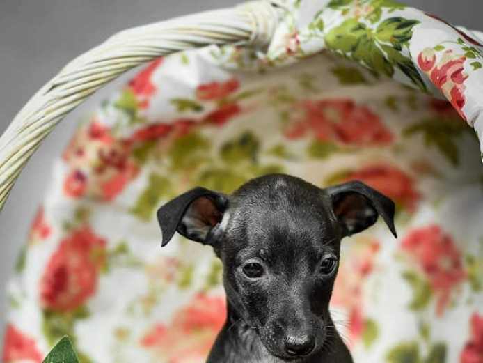 Champion bloodline Italian Greyhound puppy girl.