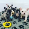 Pets  - True Blue Frenchies..