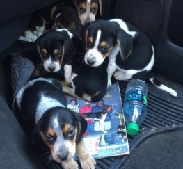 Pets  - Beautiful Kc Reg Tricolour Beagle Puppies