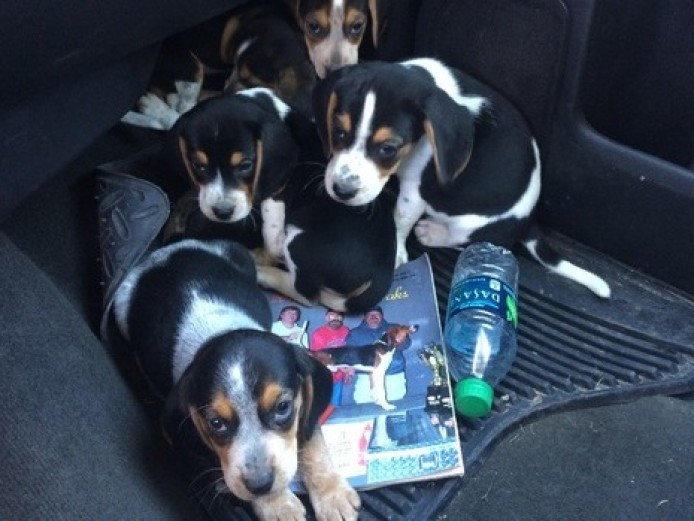 Beautiful Kc Reg Tricolour Beagle Puppies