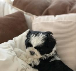 Pets  - KC Registered Shih Tzu Puppy. Karashishi