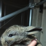 Gorgeous pure bred continental giant rabbits 2 bucks left now