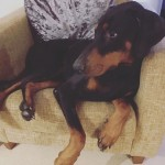 Dobermann for re-homing