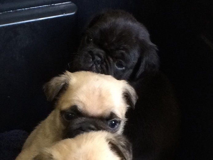 Gorgeous Pedigree Pug Puppies for Sale