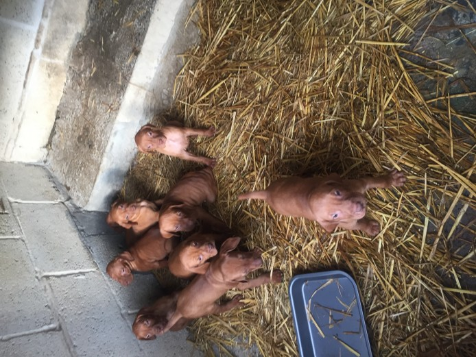 Chunky Hungarian vizsla for sale