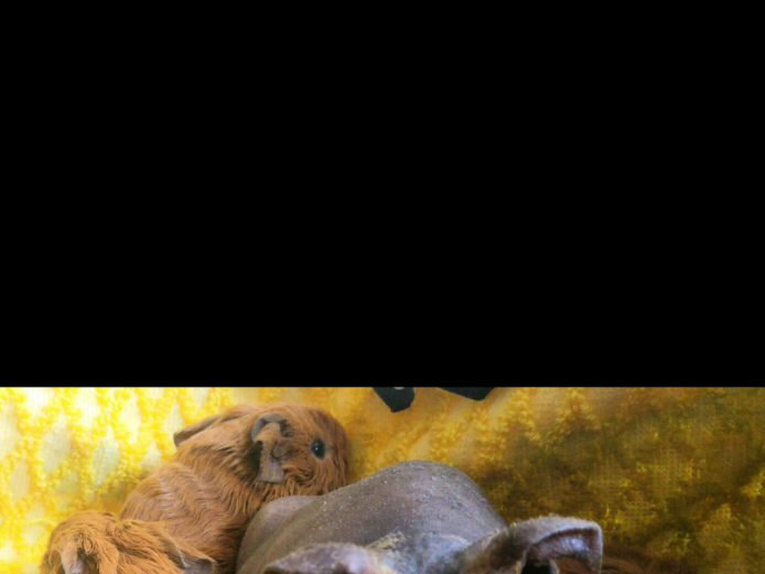 Beautiful skinny pig female for sale