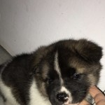 Female Akita Puppy Champion Bloodline