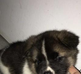 Female Akita Puppy Champion Bloodline