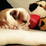 English bulldog puppies for sale