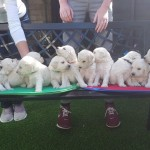 Goldendoddle puppies for sale