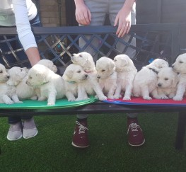 Pets  - Goldendoddle puppies for sale