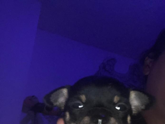KC chihuahua puppies blue & lilac & Chocolate