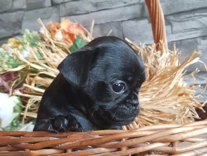 Pug x Miniature Dachshund