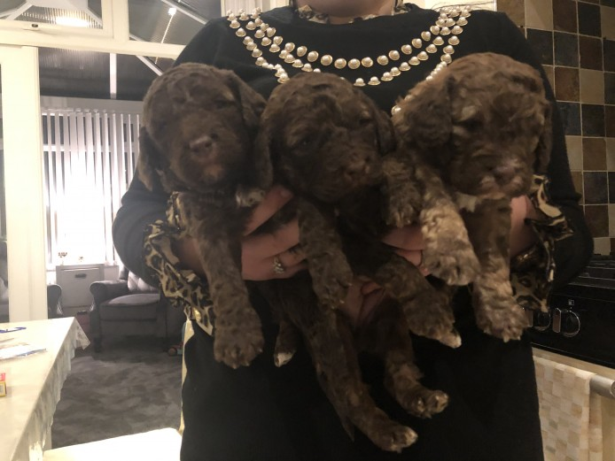 Litter of cockapoo pups boys & girls , ready 1st week January
